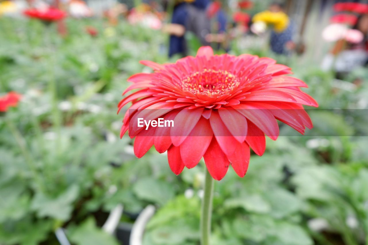 flower, growth, nature, freshness, petal, flower head, focus on foreground, fragility, red, beauty in nature, blooming, outdoors, plant, day, close-up, no people