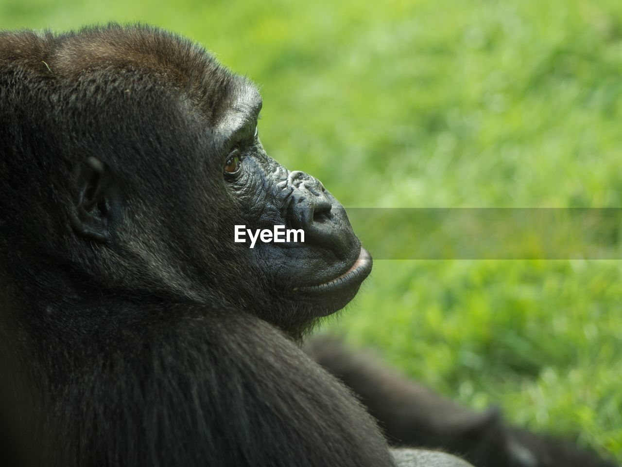Side View Headshot Of A Gorilla Looking Away