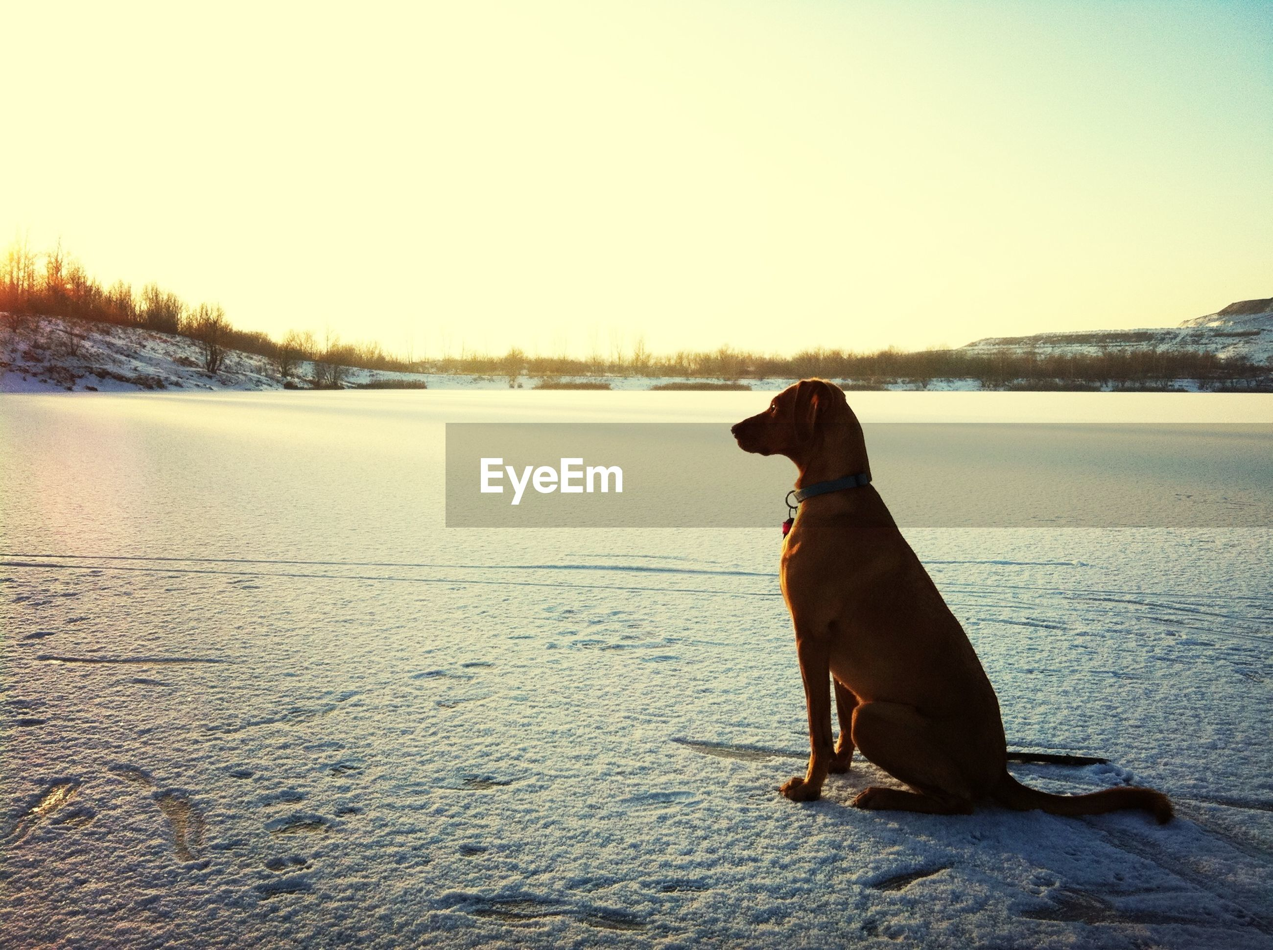 domestic animals, pets, one animal, mammal, dog, animal themes, snow, winter, cold temperature, clear sky, standing, copy space, full length, one person, season, pet collar, weather, nature, sitting, side view