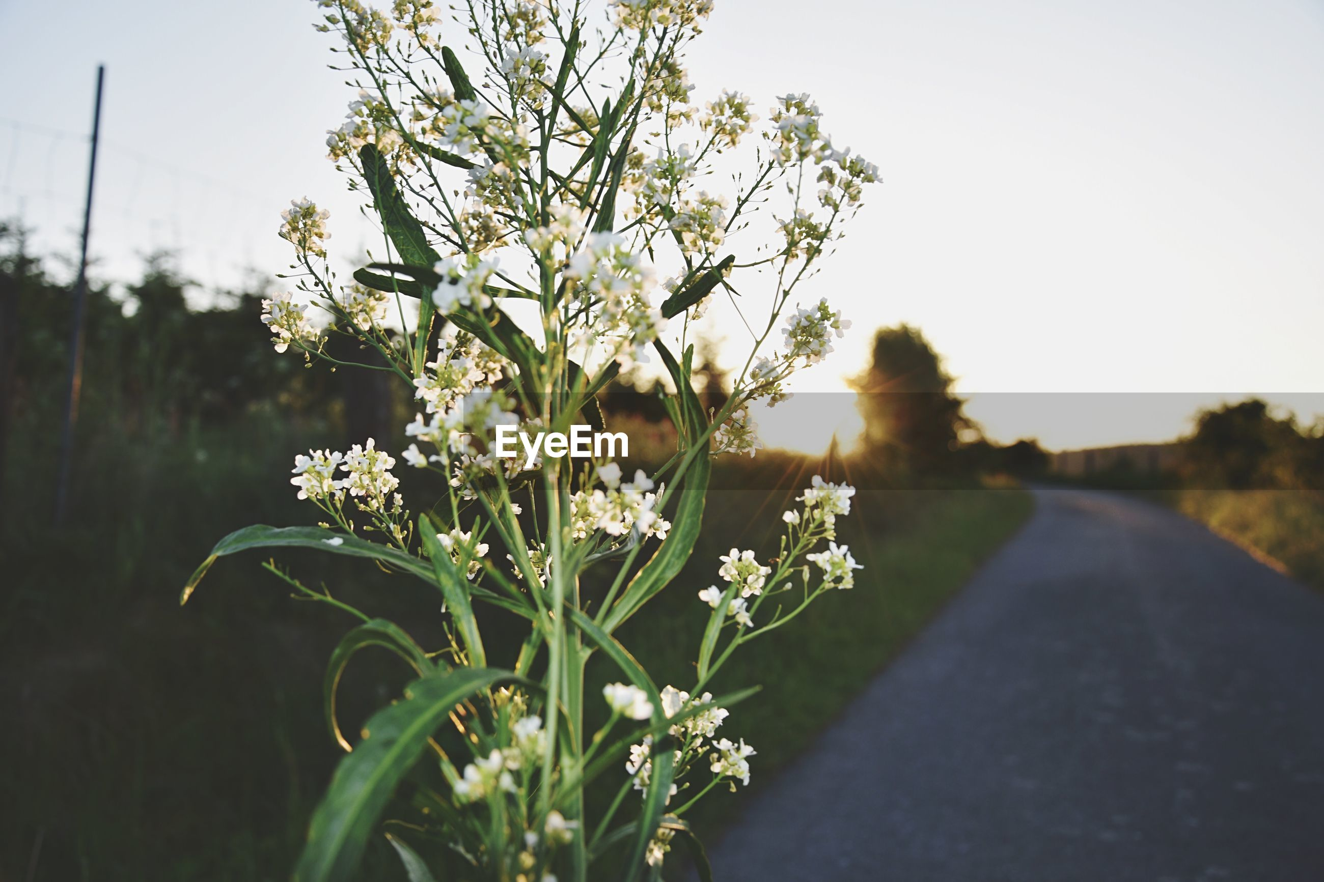 CLOSE-UP OF FLOWERING PLANT ON ROAD AMIDST FIELD