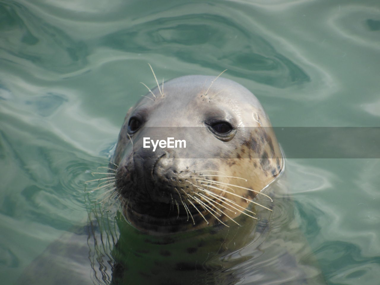 water, one animal, animal themes, animal, animal wildlife, animals in the wild, underwater, sea, swimming, nature, high angle view, no people, animal body part, mammal, day, aquatic mammal, animal head, close-up, seal, marine, outdoors, seal - animal, whisker