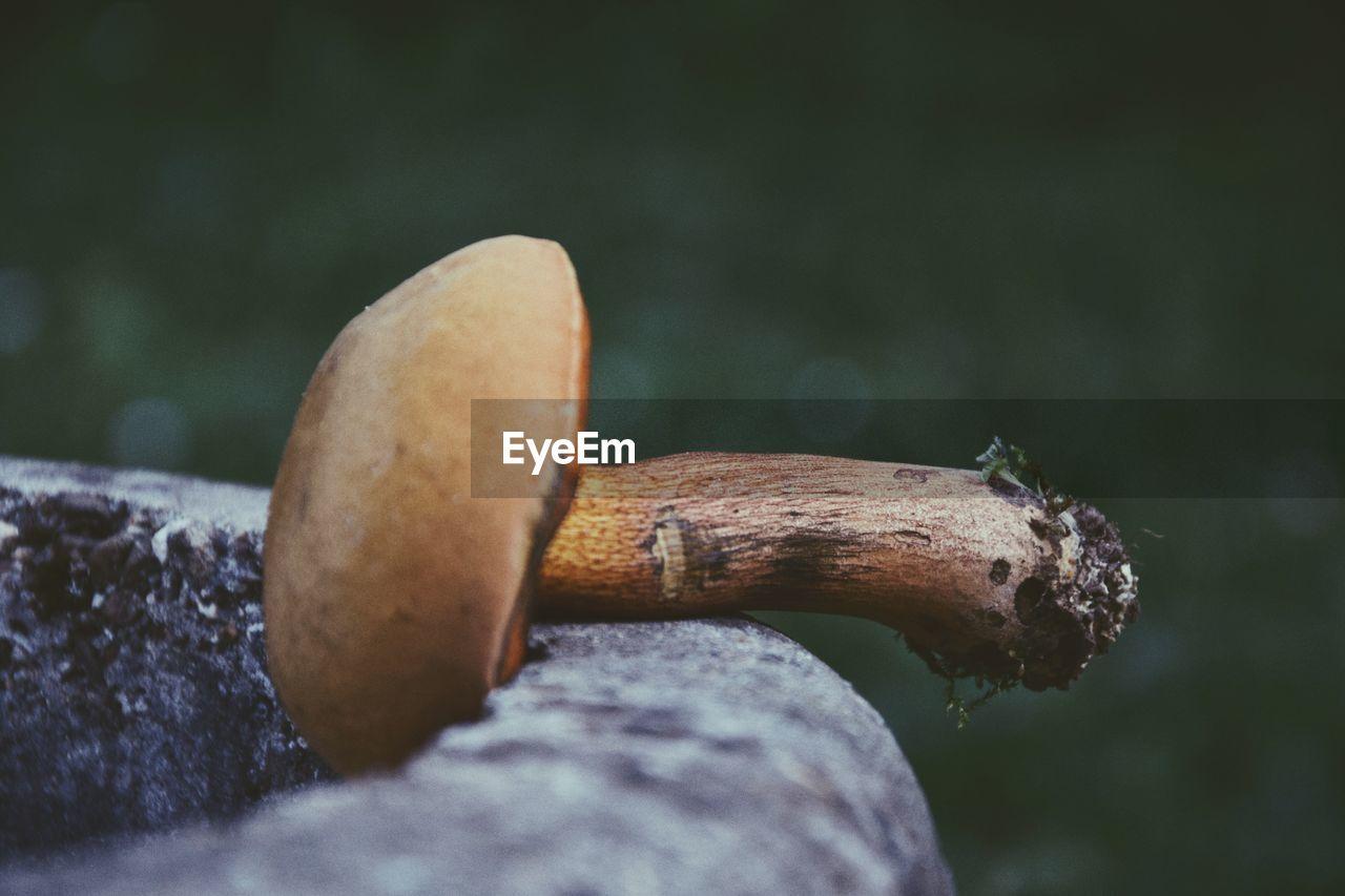 Close-Up Of Mushroom On Rock