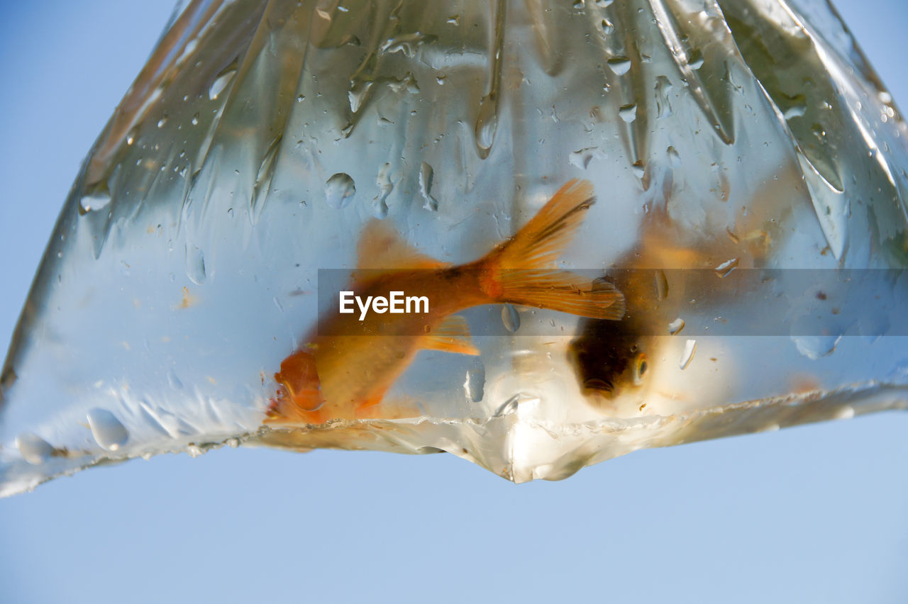 Close-up of fish in plastic bag against clear sky