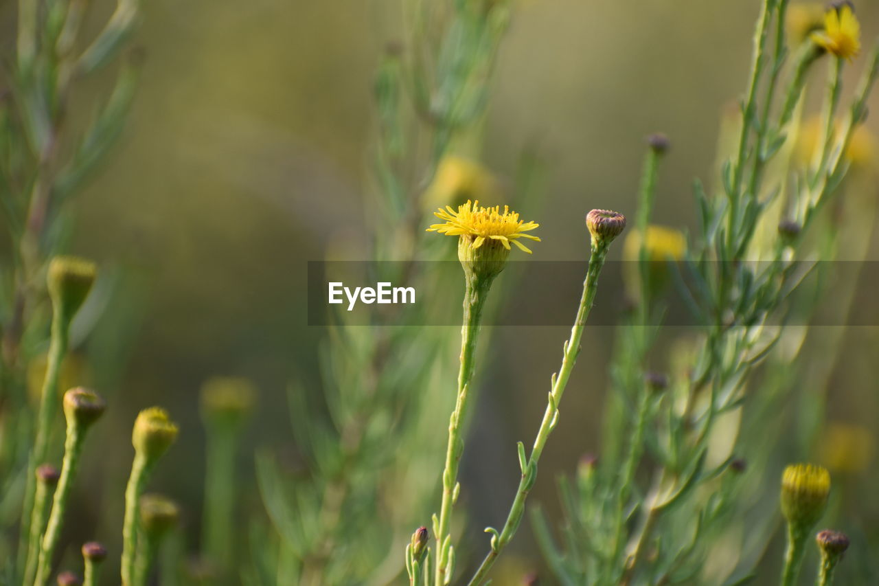 plant, growth, flower, flowering plant, beauty in nature, fragility, vulnerability, yellow, close-up, freshness, focus on foreground, green color, flower head, day, nature, no people, selective focus, plant stem, inflorescence, petal, outdoors, blade of grass, pollination