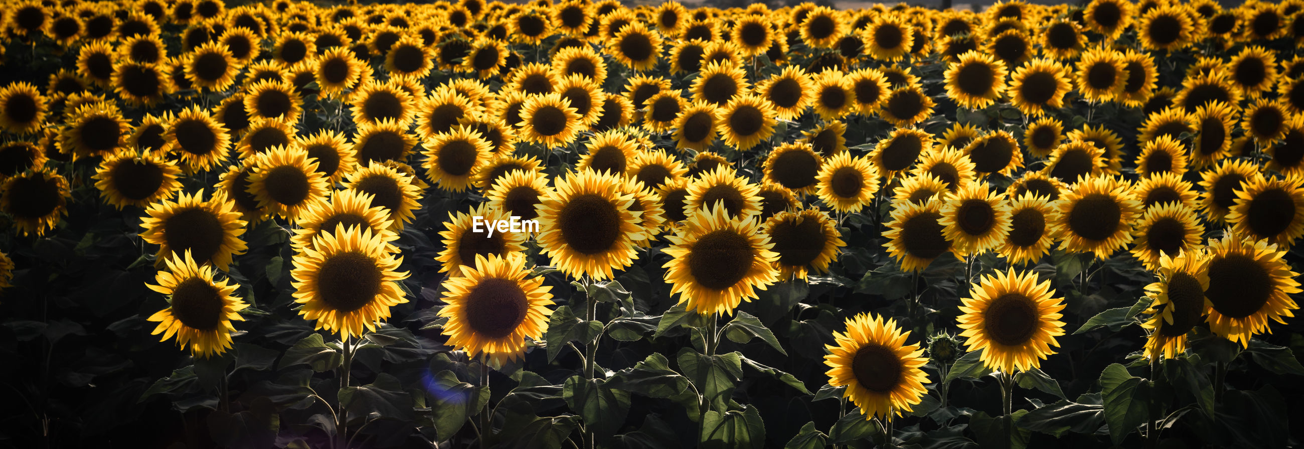 Scenery of sunflower crops on a field