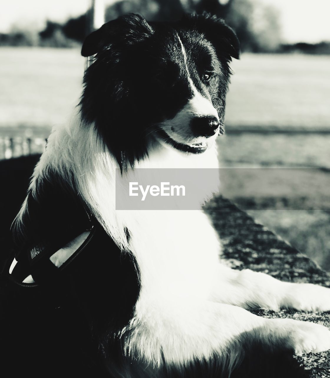 one animal, pets, mammal, domestic, dog, canine, domestic animals, vertebrate, looking, looking away, focus on foreground, people, day, close-up, sitting, animal body part, human body part, border collie