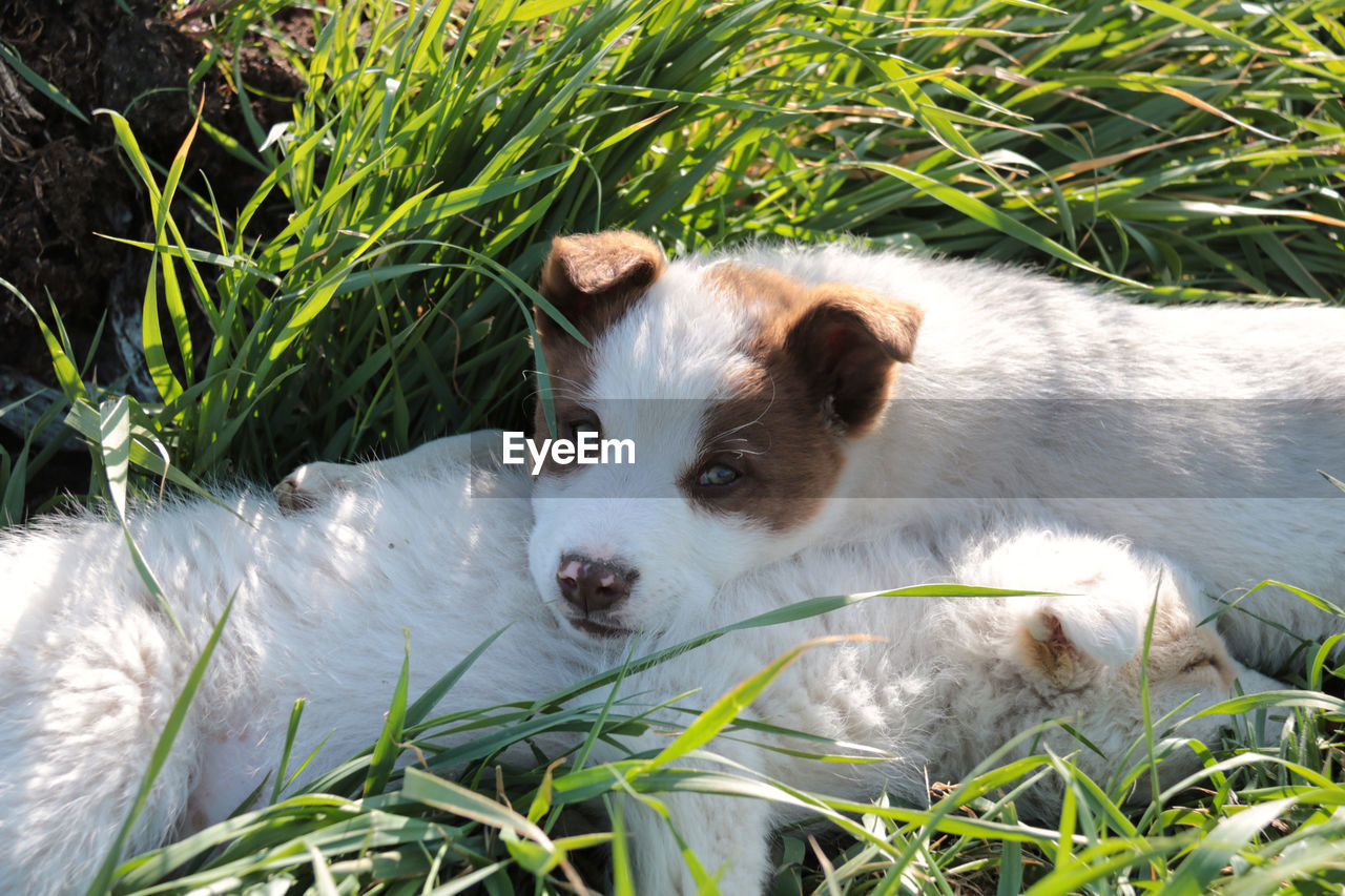 one animal, mammal, animal themes, animal, dog, canine, domestic, domestic animals, vertebrate, plant, pets, grass, portrait, nature, looking at camera, day, relaxation, no people, green color, field, outdoors, animal head, jack russell terrier