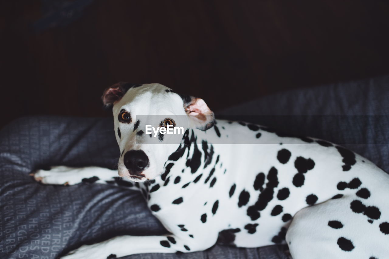 Portrait Of Dalmatian Dog Resting On Bed