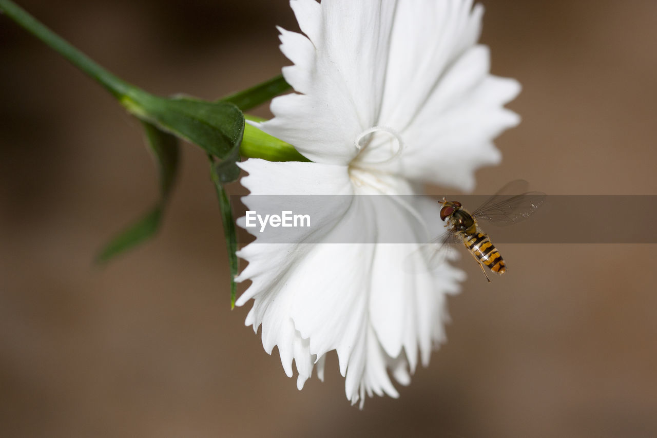 flower, beauty in nature, petal, flowering plant, invertebrate, insect, fragility, vulnerability, animal themes, close-up, animals in the wild, flower head, animal, animal wildlife, white color, plant, bee, freshness, inflorescence, pollen, no people, pollination