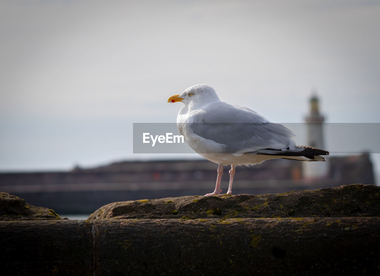 bird, vertebrate, animal, animal themes, one animal, animals in the wild, seagull, animal wildlife, perching, focus on foreground, no people, day, wall, sea bird, nature, solid, close-up, sky, looking, rock, beak, wooden post