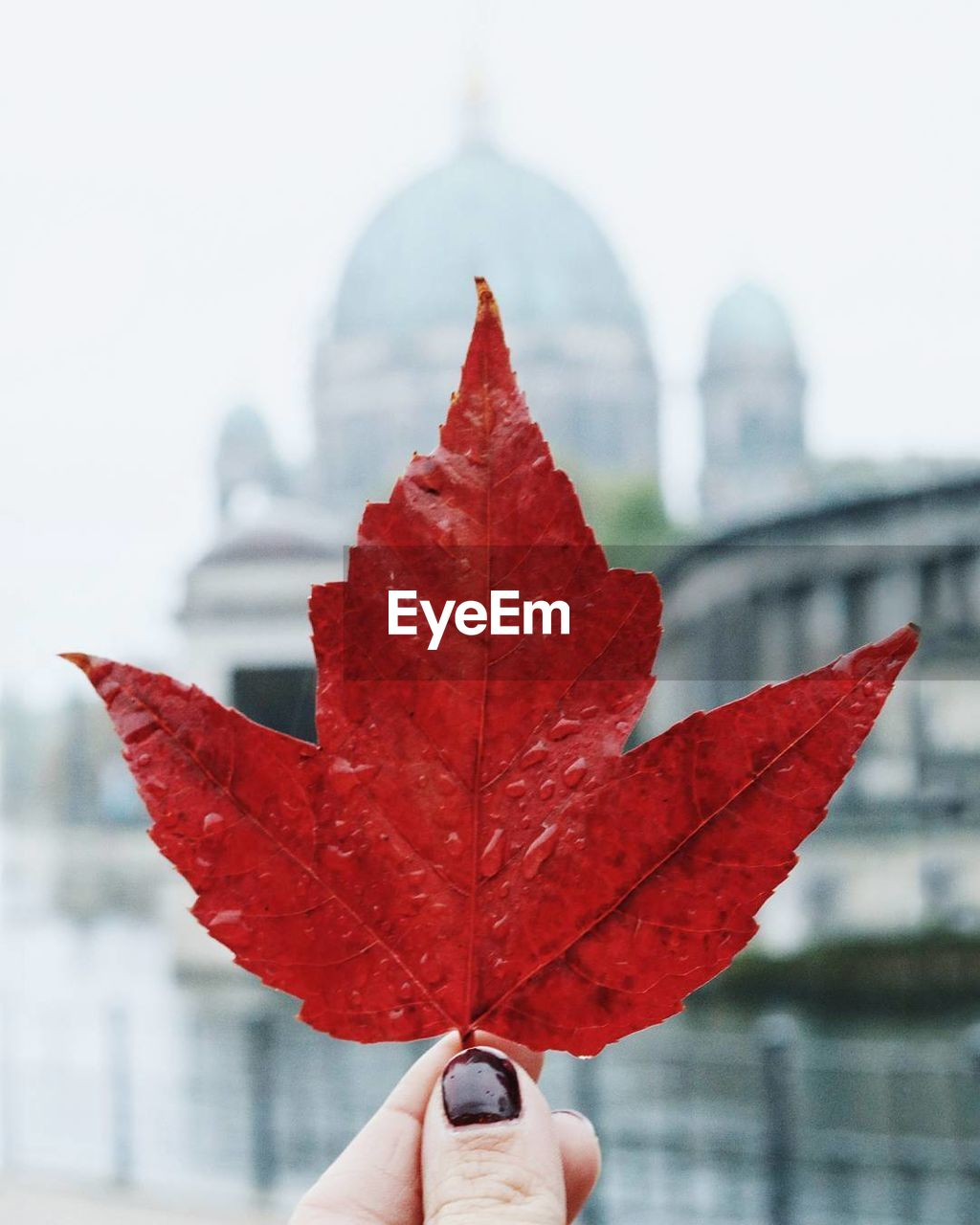 Cropped hand of woman holding red wet maple leaf against berlin cathedral