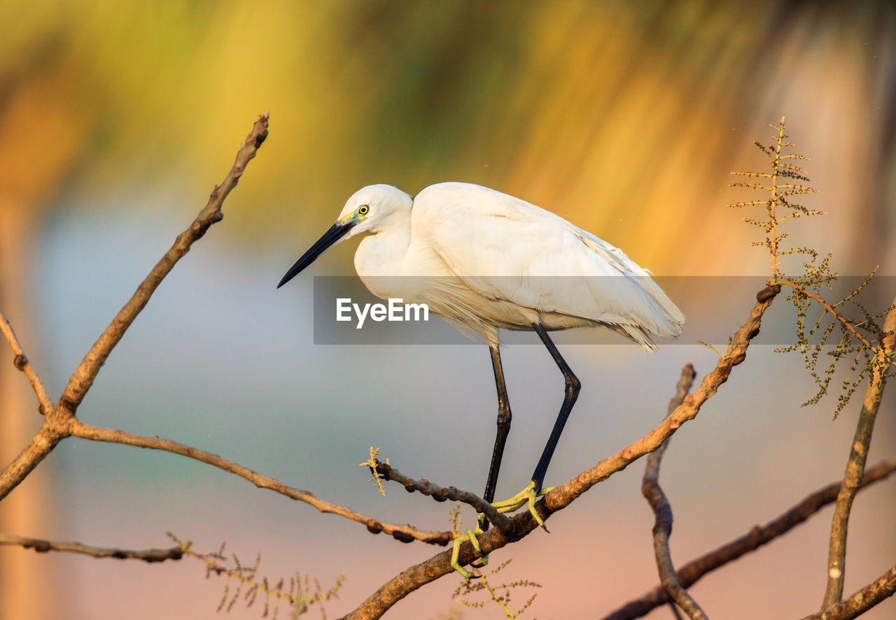 Little Egret Perching On Branch