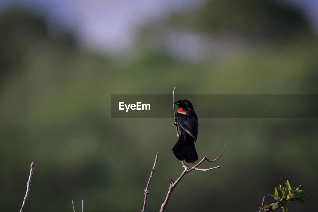 animal themes, one animal, animal wildlife, animal, animals in the wild, invertebrate, insect, focus on foreground, vertebrate, bird, plant, day, nature, perching, no people, beauty in nature, black color, zoology, selective focus, outdoors, animal wing, butterfly - insect, stick - plant part