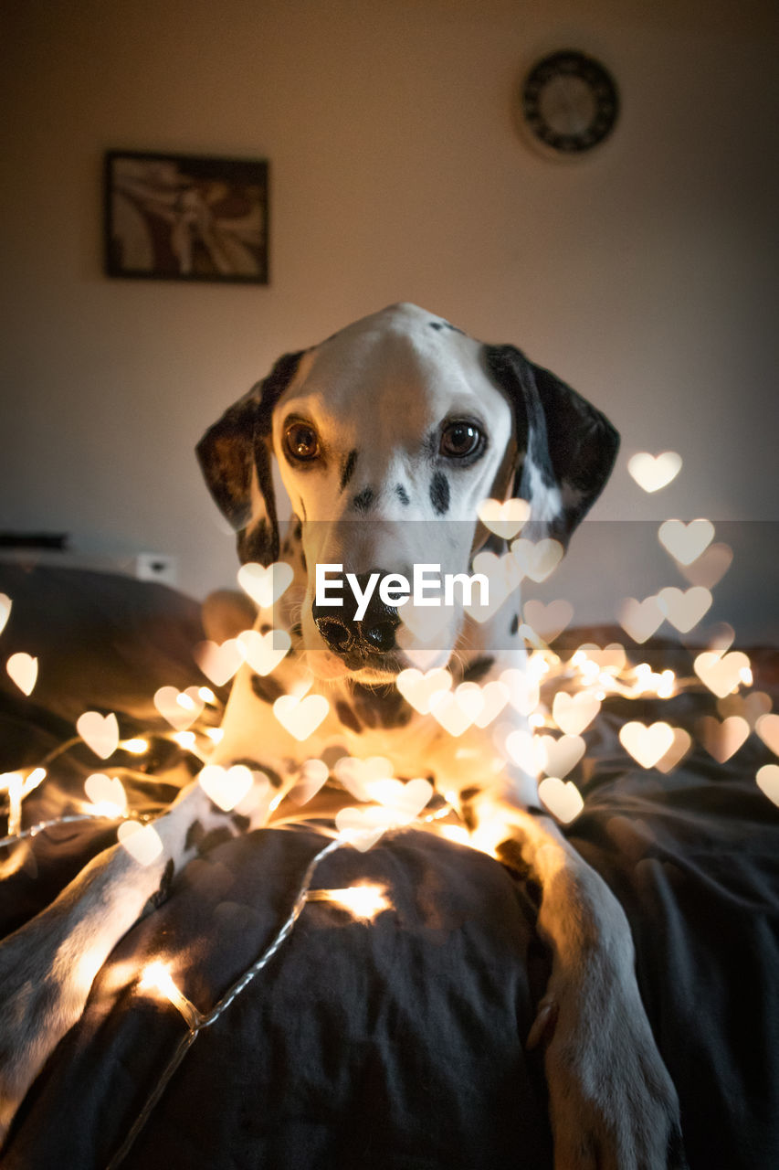 Portrait Of Dog Seen Through Heart Shaped Lights At Home