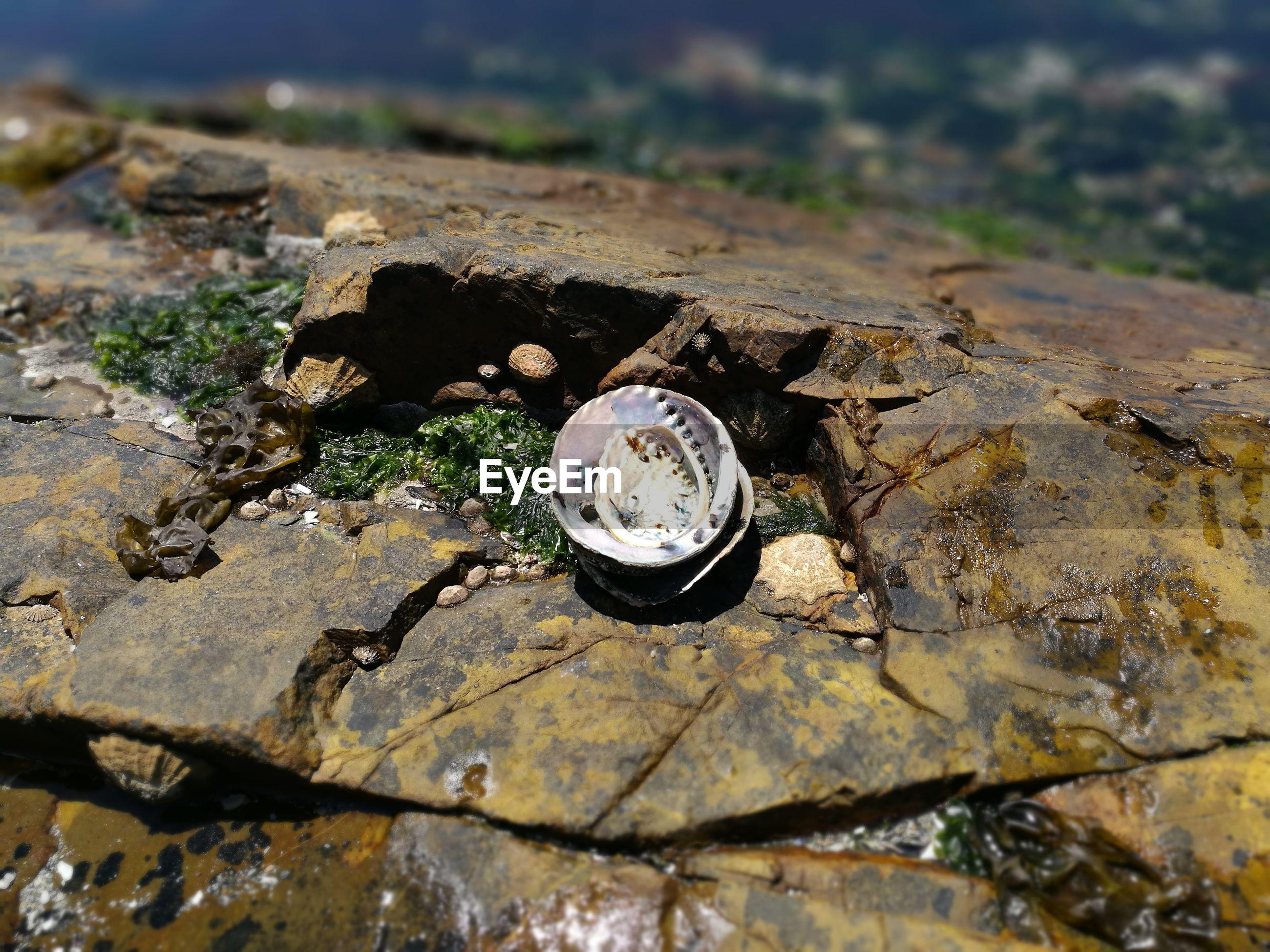 High angle view of seashells on rock
