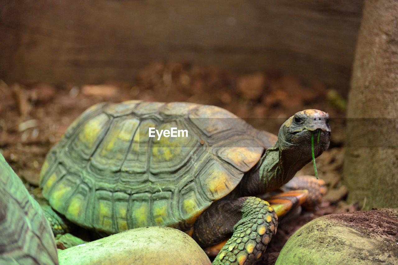 Close-up of tortoise
