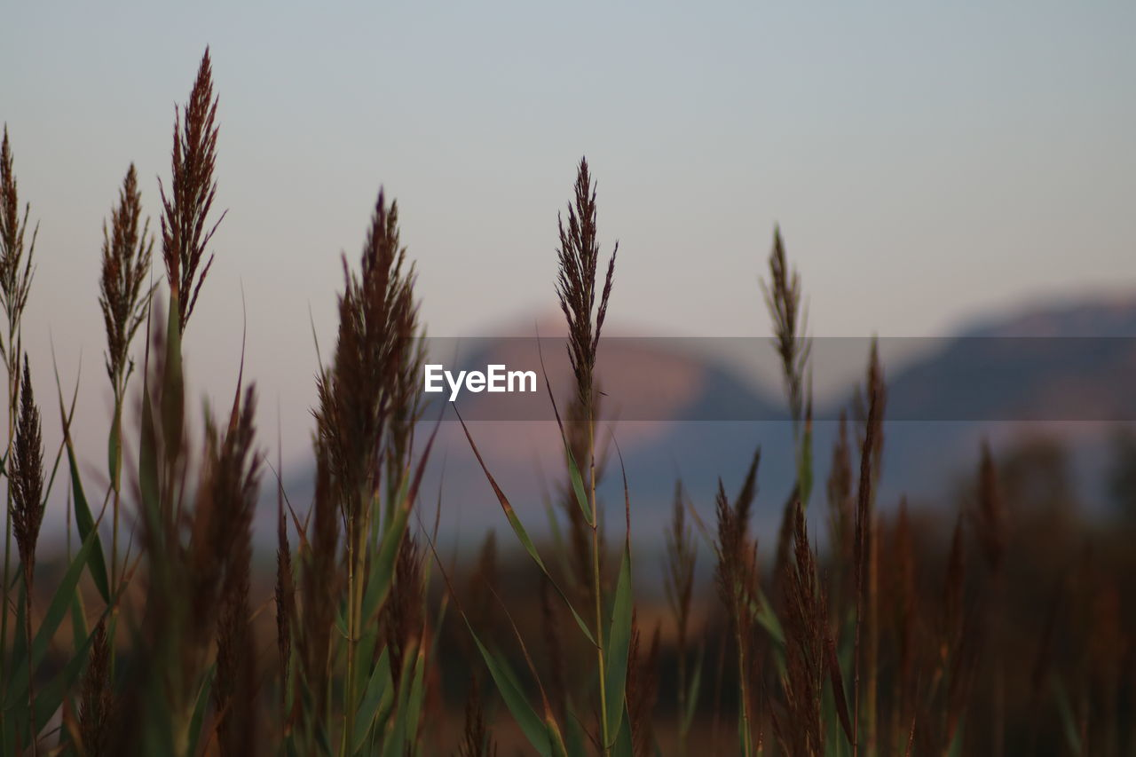 growth, plant, sky, tranquility, beauty in nature, nature, focus on foreground, no people, close-up, land, field, selective focus, day, rural scene, sunset, crop, agriculture, outdoors, landscape, grass, stalk, timothy grass