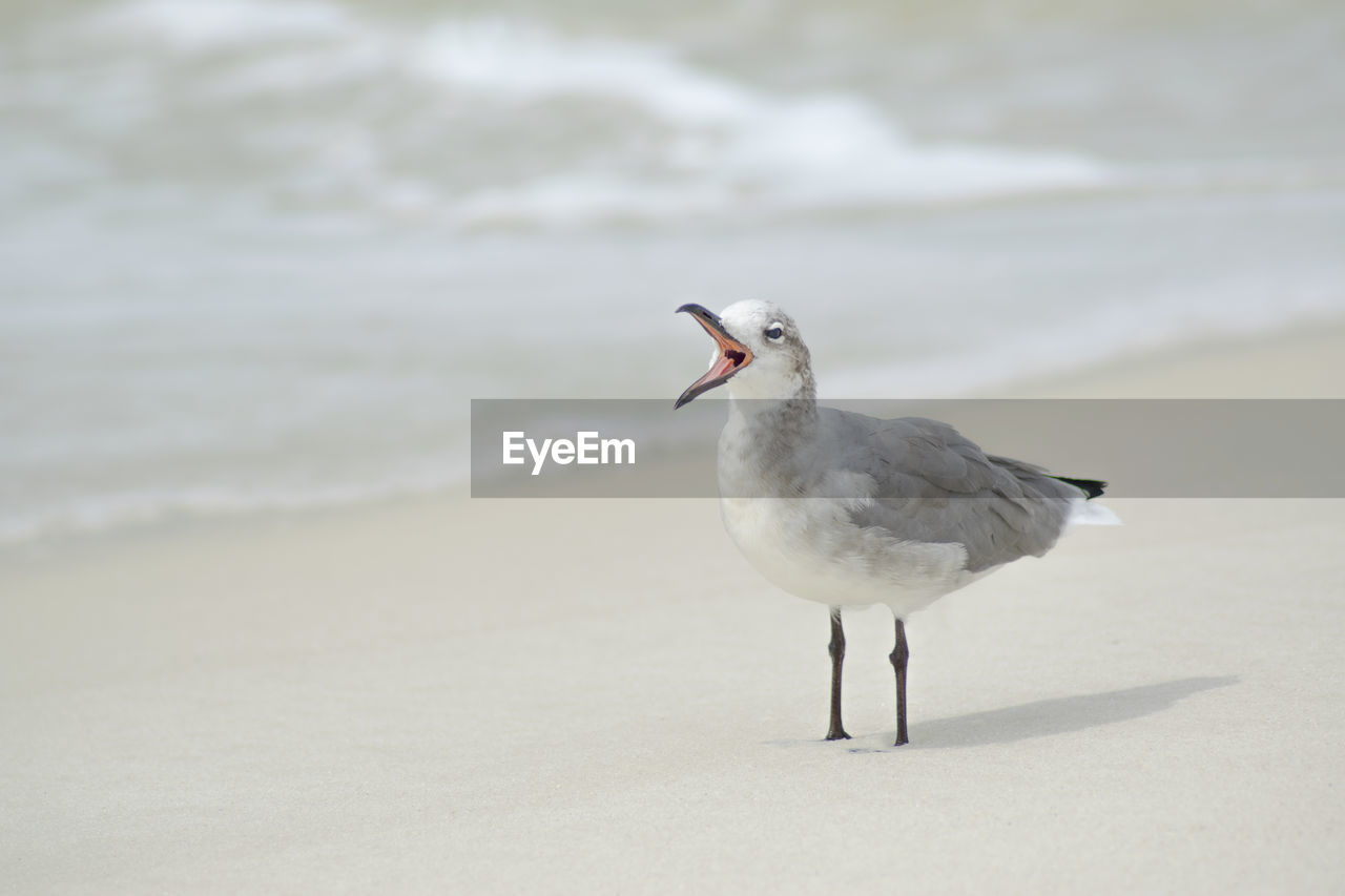 bird, animal themes, animals in the wild, animal wildlife, animal, vertebrate, one animal, land, beach, no people, sand, focus on foreground, seagull, day, sea, nature, outdoors, close-up, full length, water, mouth open