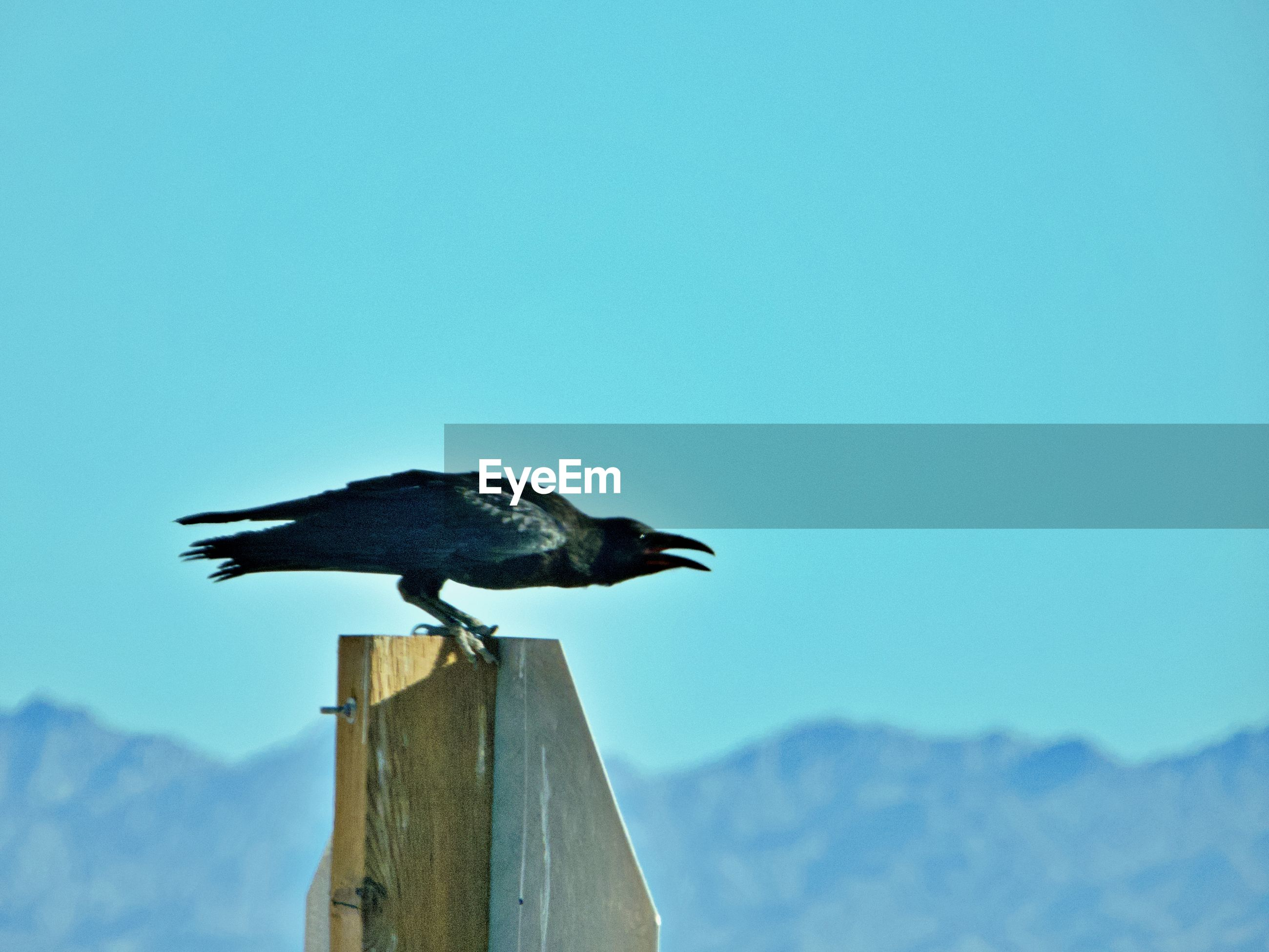 BIRD PERCHING ON WOODEN POST AGAINST CLEAR SKY