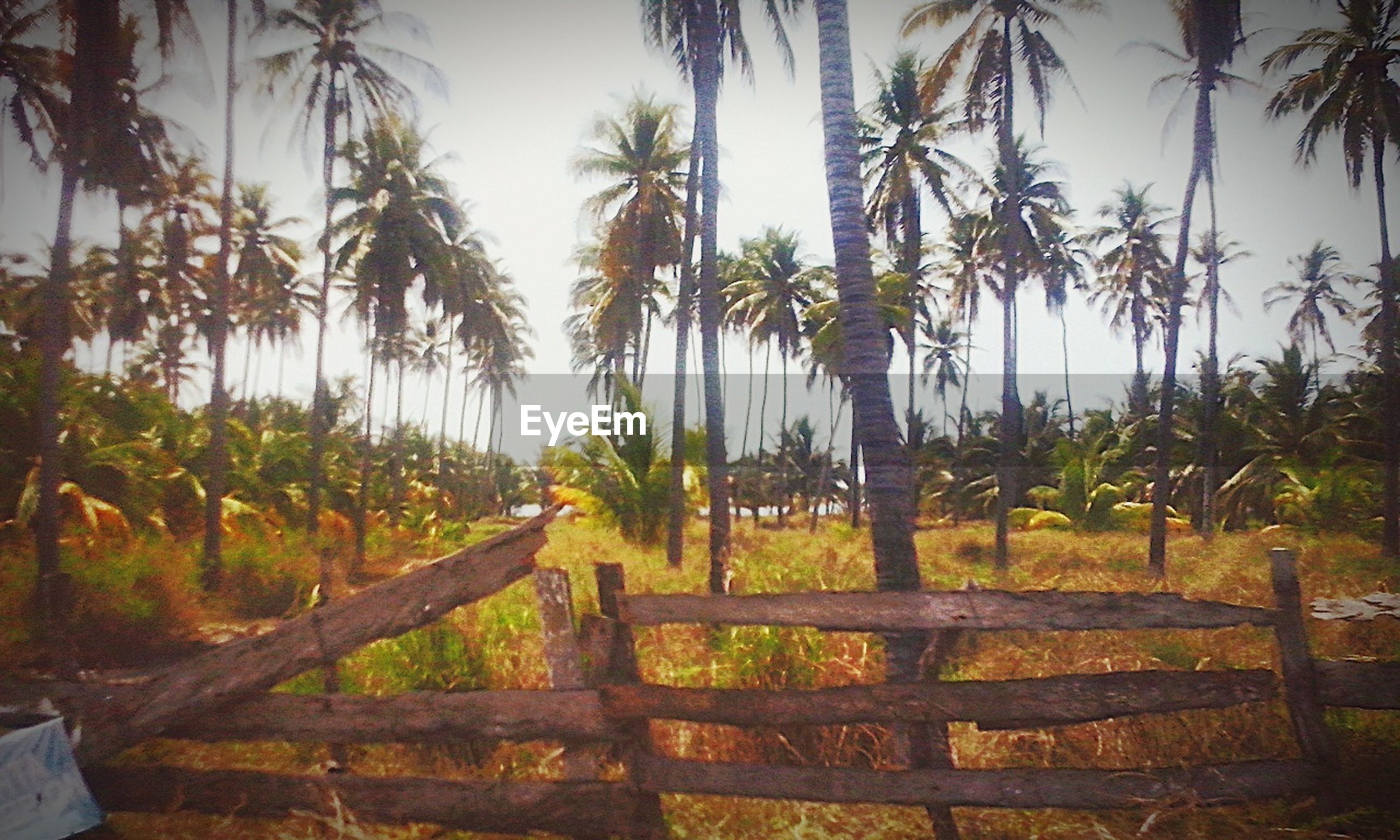 tree, growth, palm tree, tranquility, tranquil scene, nature, tree trunk, green color, beauty in nature, scenics, sunlight, plant, sky, landscape, field, day, park - man made space, branch, outdoors, no people