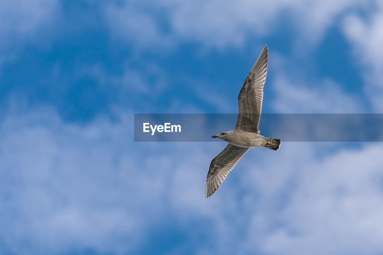 flying, bird, spread wings, animal wildlife, animals in the wild, animal themes, vertebrate, animal, cloud - sky, mid-air, sky, low angle view, seagull, one animal, nature, no people, day, beauty in nature, motion, outdoors