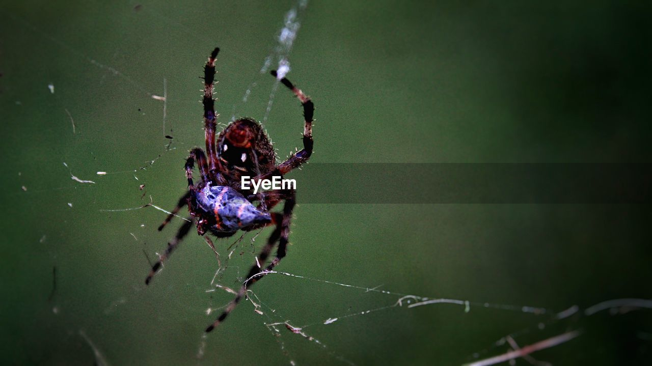 invertebrate, insect, animal themes, arachnid, animal wildlife, animals in the wild, animal, spider, spider web, one animal, arthropod, fragility, close-up, focus on foreground, survival, nature, animal leg, day, zoology, no people, outdoors, web