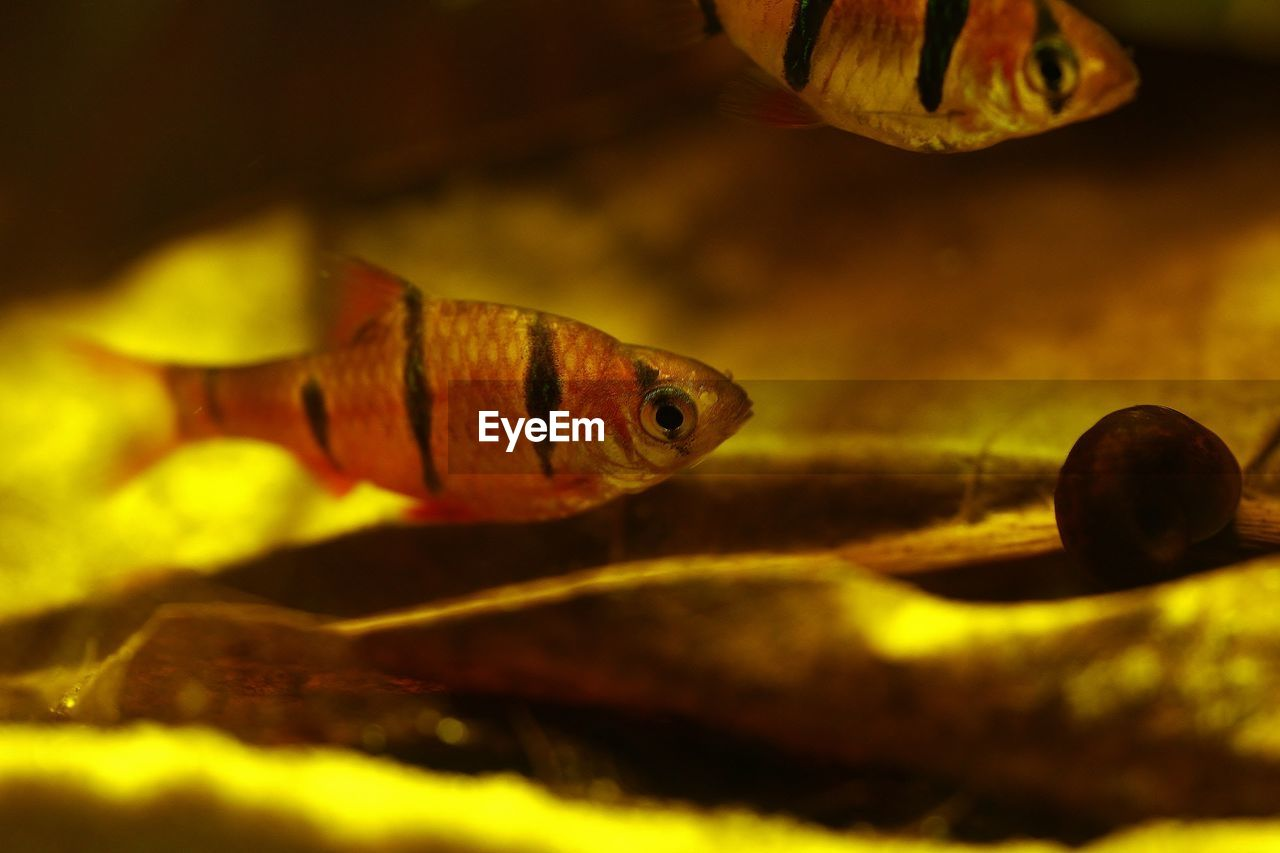 fish, one animal, animal themes, swimming, no people, indoors, close-up, animals in the wild, animal wildlife, underwater, goldfish, aquarium, sea life, night, water, nature, undersea