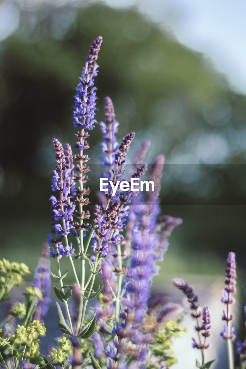 purple, flower, plant, flowering plant, vulnerability, fragility, beauty in nature, growth, freshness, close-up, nature, focus on foreground, selective focus, lavender, no people, day, outdoors, inflorescence, flower head, field, springtime