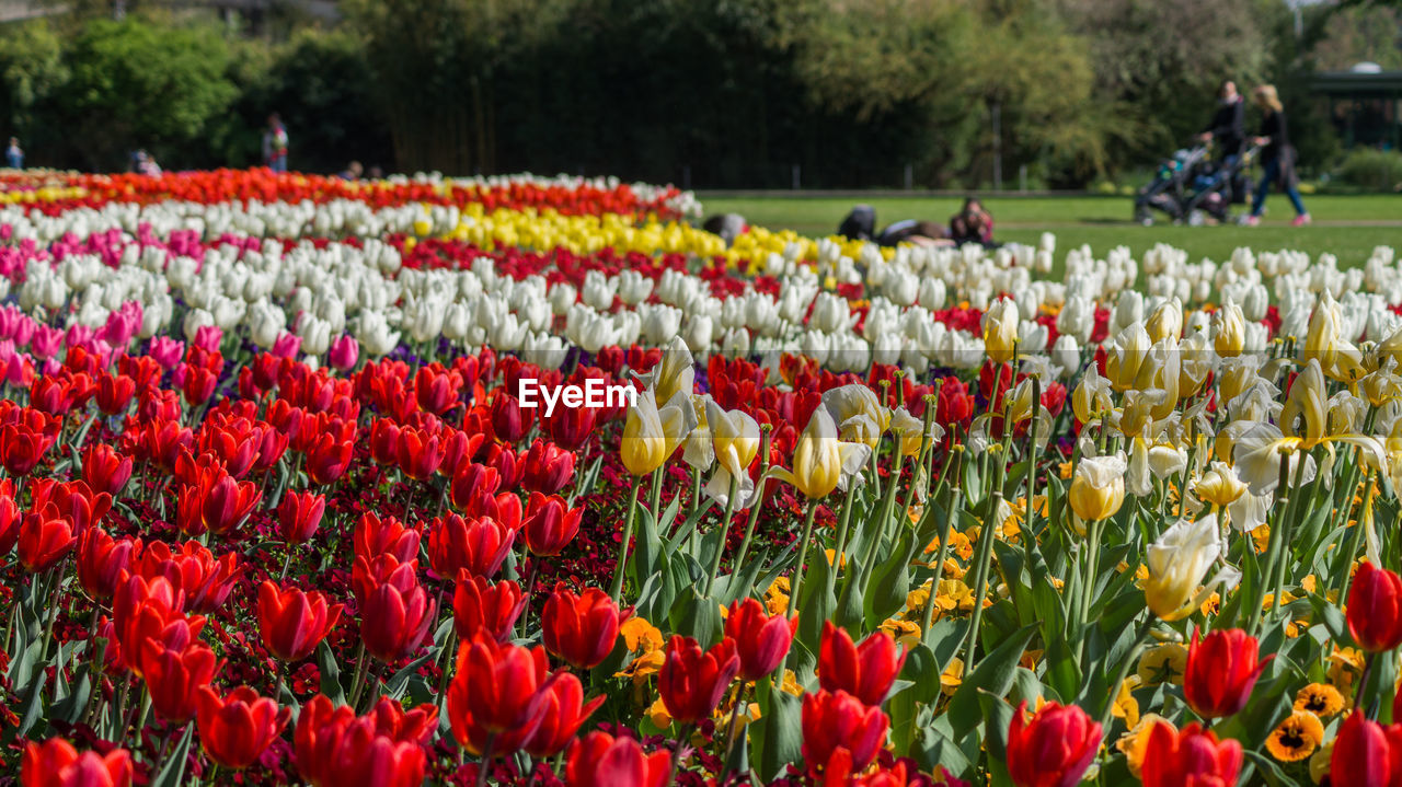 flowering plant, flower, plant, freshness, tulip, beauty in nature, field, growth, vulnerability, red, fragility, nature, day, land, flower head, abundance, incidental people, landscape, outdoors, springtime, flowerbed