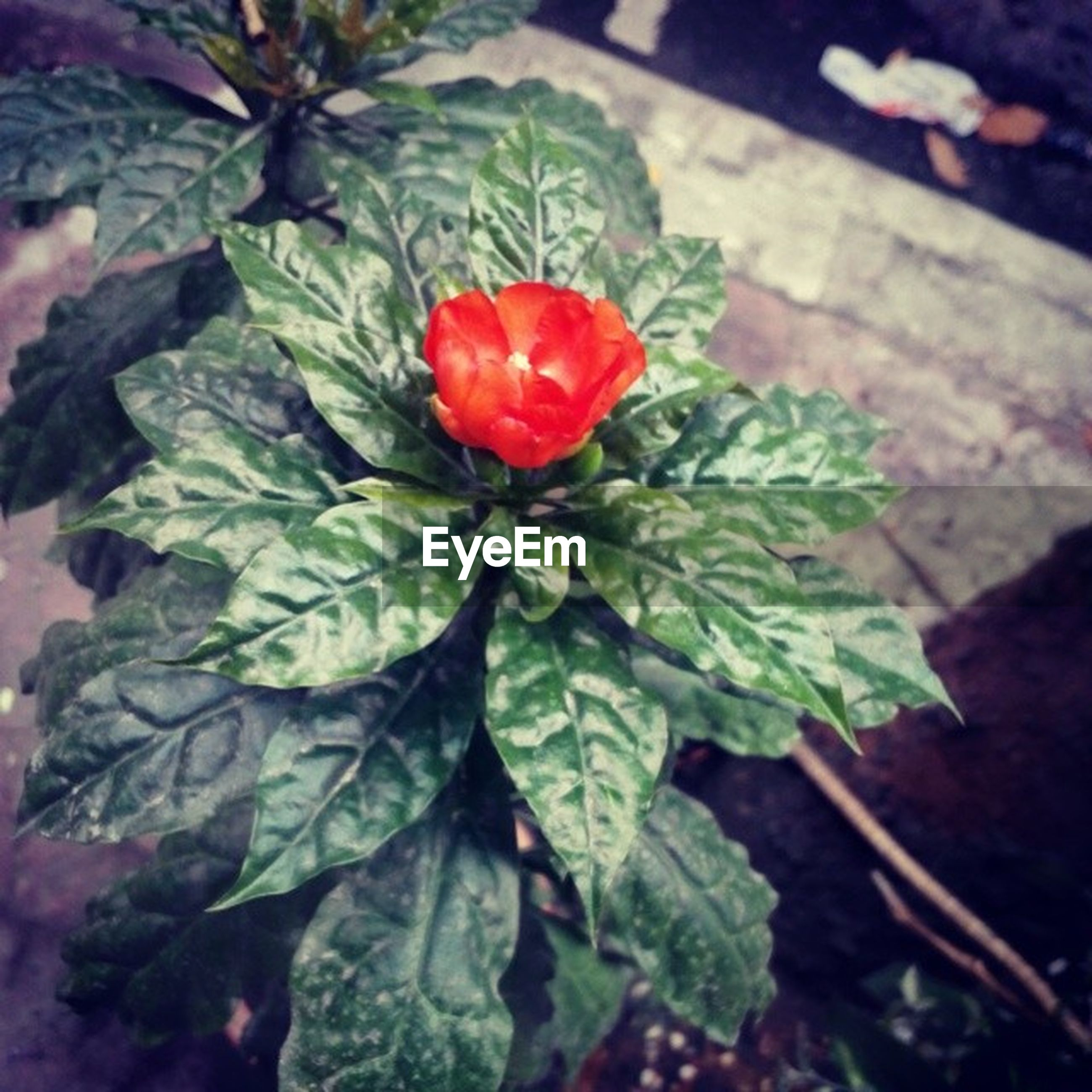leaf, flower, growth, freshness, fragility, plant, petal, beauty in nature, red, flower head, nature, close-up, green color, blooming, focus on foreground, rose - flower, single flower, in bloom, botany, day
