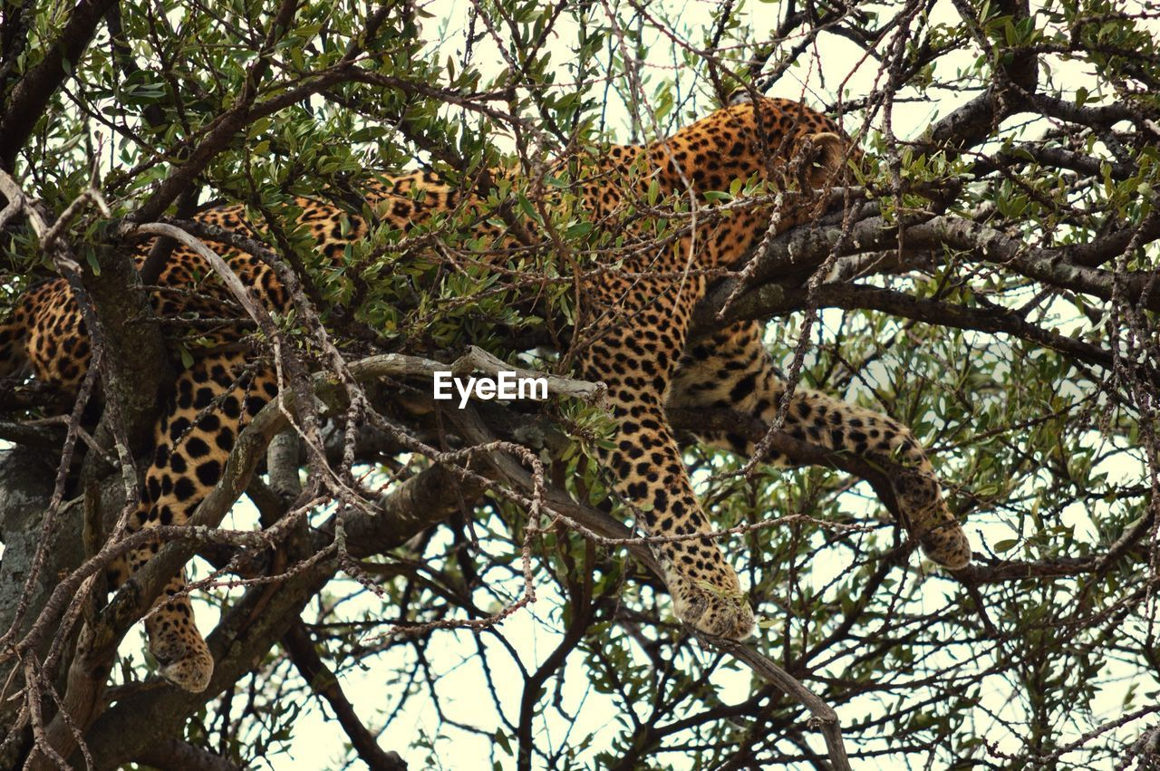 Side View Of Leopard Resting On Branch