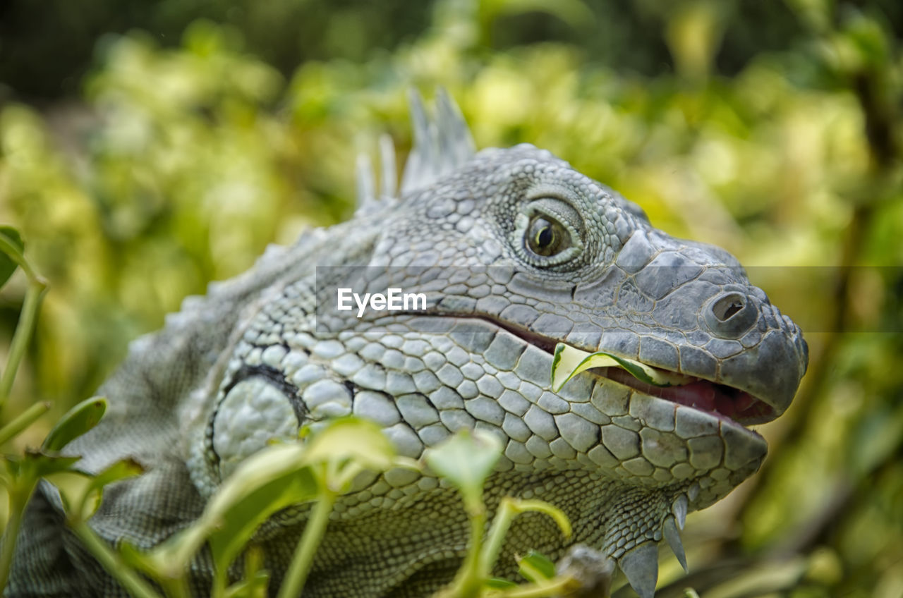 animal, one animal, animal themes, animal wildlife, animals in the wild, reptile, close-up, vertebrate, animal body part, no people, day, nature, animal head, selective focus, iguana, focus on foreground, green color, lizard, looking away, looking, animal scale, animal eye
