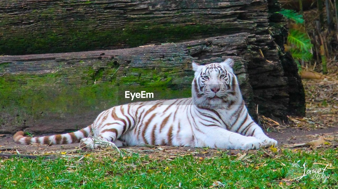 tiger, animal, big cat, animal themes, animal wildlife, animals in the wild, land, mammal, nature, grass, feline, cat, plant, vertebrate, carnivora, day, field, white tiger, relaxation, no people, outdoors