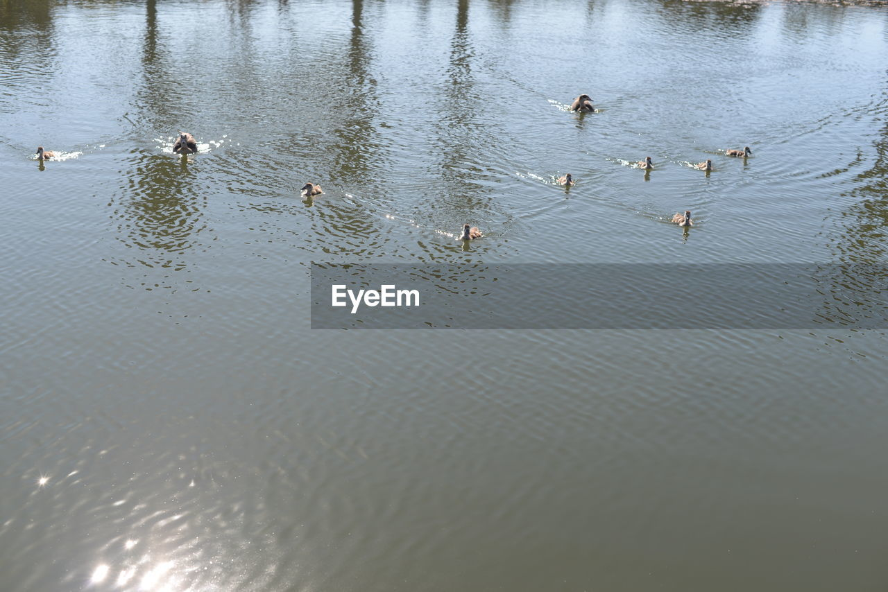 water, animals in the wild, animal themes, bird, lake, animal wildlife, large group of animals, nature, duck, no people, swimming, reflection, day, waterfront, outdoors, high angle view, water bird, goose, swan, beauty in nature