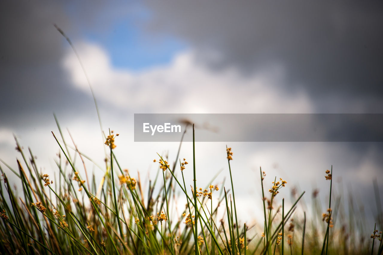 plant, flower, growth, flowering plant, beauty in nature, fragility, freshness, vulnerability, nature, field, selective focus, sky, land, close-up, cloud - sky, no people, day, insect, invertebrate, flower head, outdoors, pollination