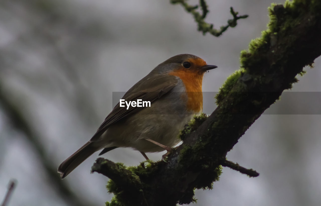 one animal, animal themes, animals in the wild, bird, focus on foreground, animal wildlife, day, no people, perching, nature, close-up, robin, outdoors, tree, branch, beauty in nature