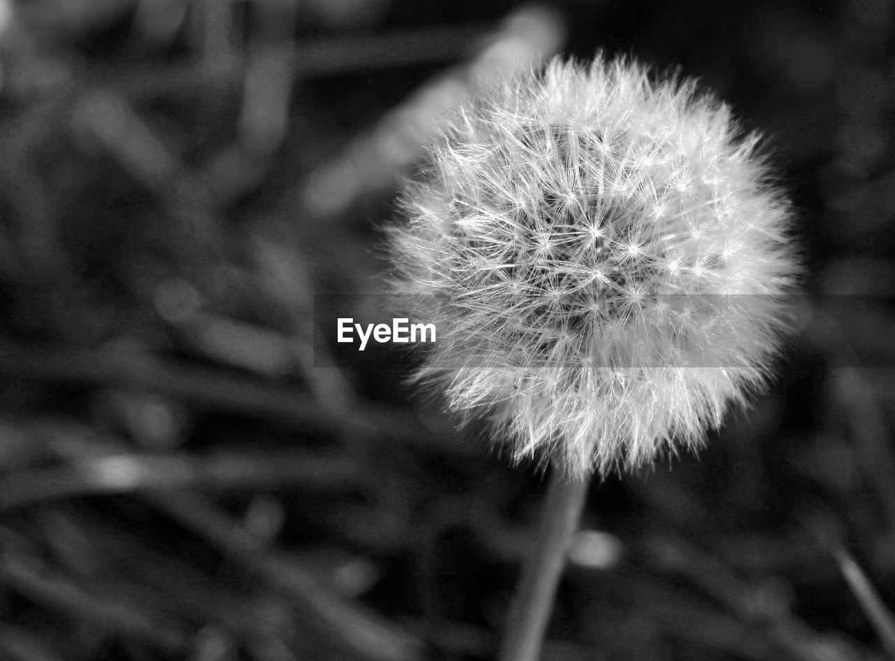 CLOSE-UP OF DANDELION OUTDOORS