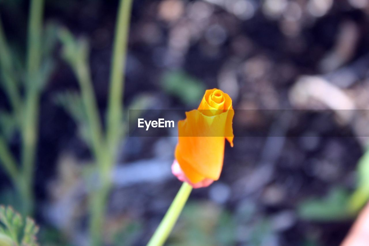 flower, fragility, petal, nature, growth, beauty in nature, freshness, plant, flower head, yellow, focus on foreground, outdoors, close-up, day, blooming, no people