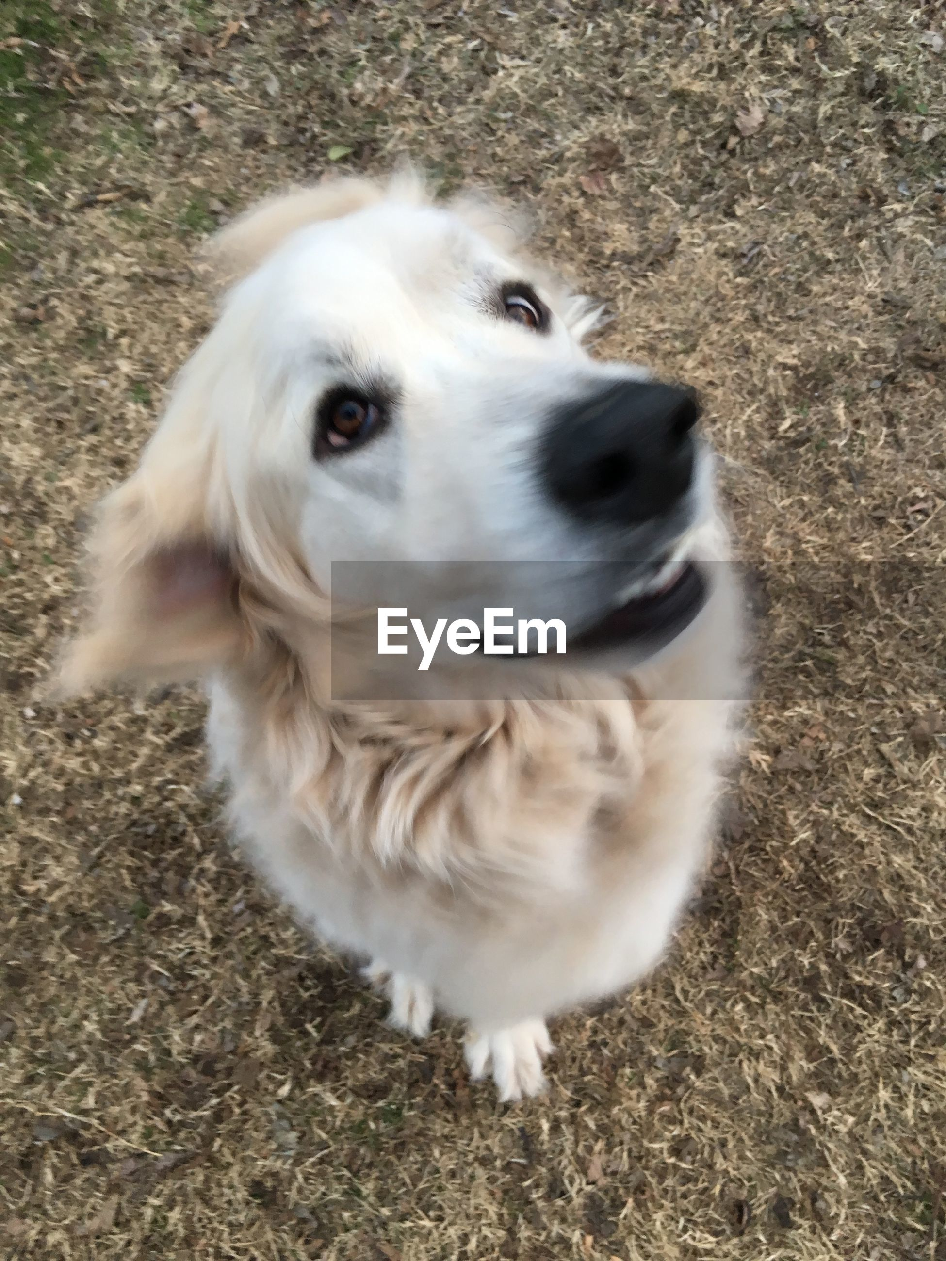 Close-up of great pyrenees
