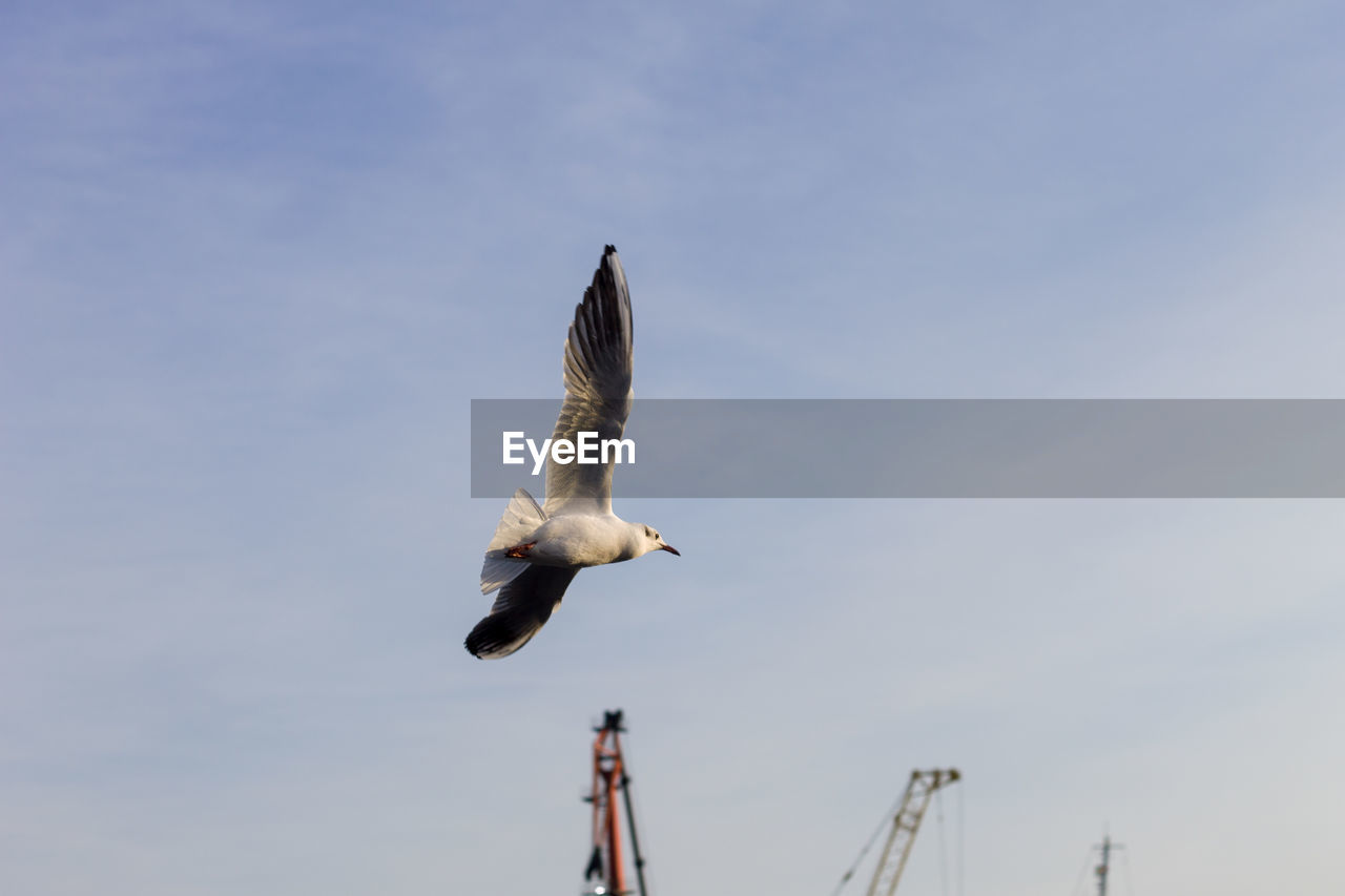 animals in the wild, flying, vertebrate, bird, animal wildlife, animal, animal themes, spread wings, sky, mid-air, low angle view, one animal, seagull, no people, nature, day, outdoors, cloud - sky, zoology, motion