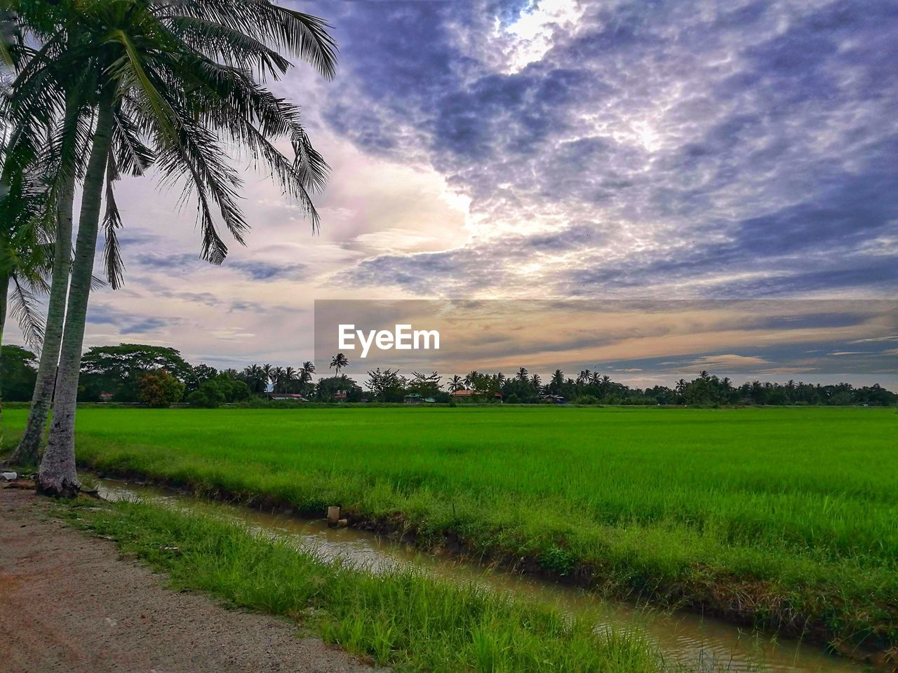tree, cloud - sky, nature, sky, tranquil scene, palm tree, beauty in nature, scenics, growth, green color, tranquility, field, landscape, no people, agriculture, grass, outdoors, rural scene, rice paddy, day, sunset