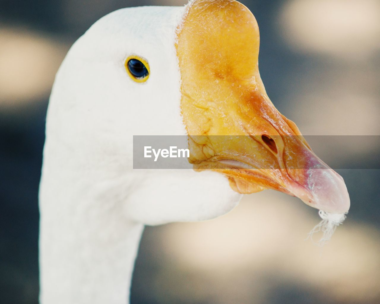 bird, beak, animals in the wild, one animal, animal themes, focus on foreground, white color, animal wildlife, close-up, water bird, no people, day, outdoors, swan, nature, water, pelican