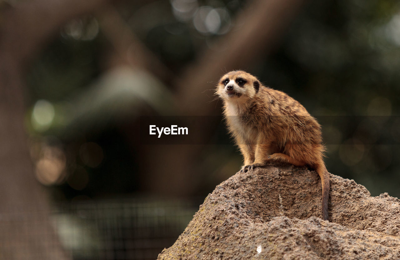 animal themes, animal, one animal, animal wildlife, mammal, animals in the wild, focus on foreground, vertebrate, rock, no people, rodent, rock - object, solid, day, nature, looking, outdoors, close-up, sitting, meerkat, whisker