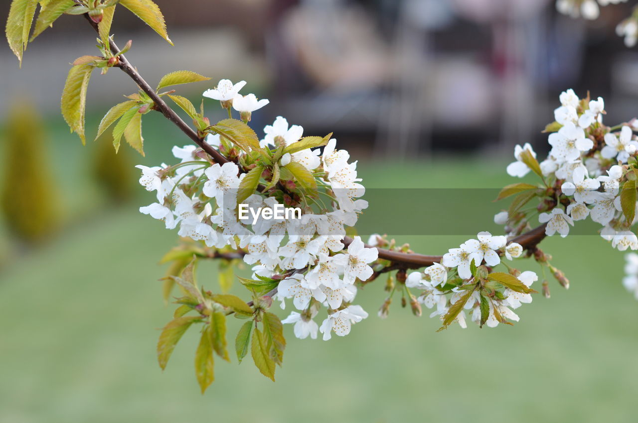 flowering plant, flower, plant, vulnerability, fragility, growth, freshness, beauty in nature, close-up, focus on foreground, white color, nature, petal, flower head, no people, day, inflorescence, tree, blossom, selective focus, springtime, outdoors, pollen, cherry blossom, cherry tree