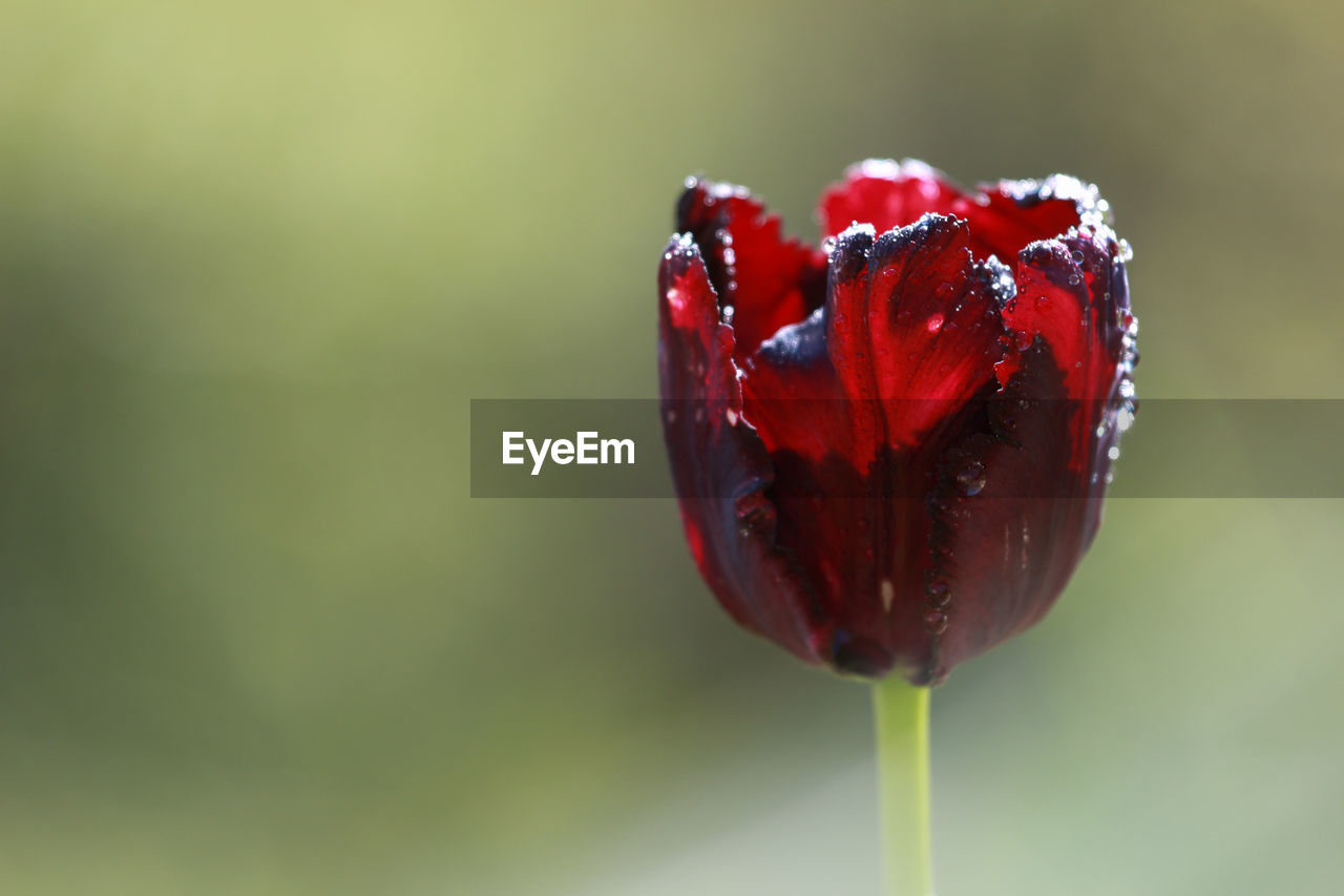 red, close-up, freshness, nature, focus on foreground, beauty in nature, no people, drop, fruit, water, fragility, outdoors, day, flower, food