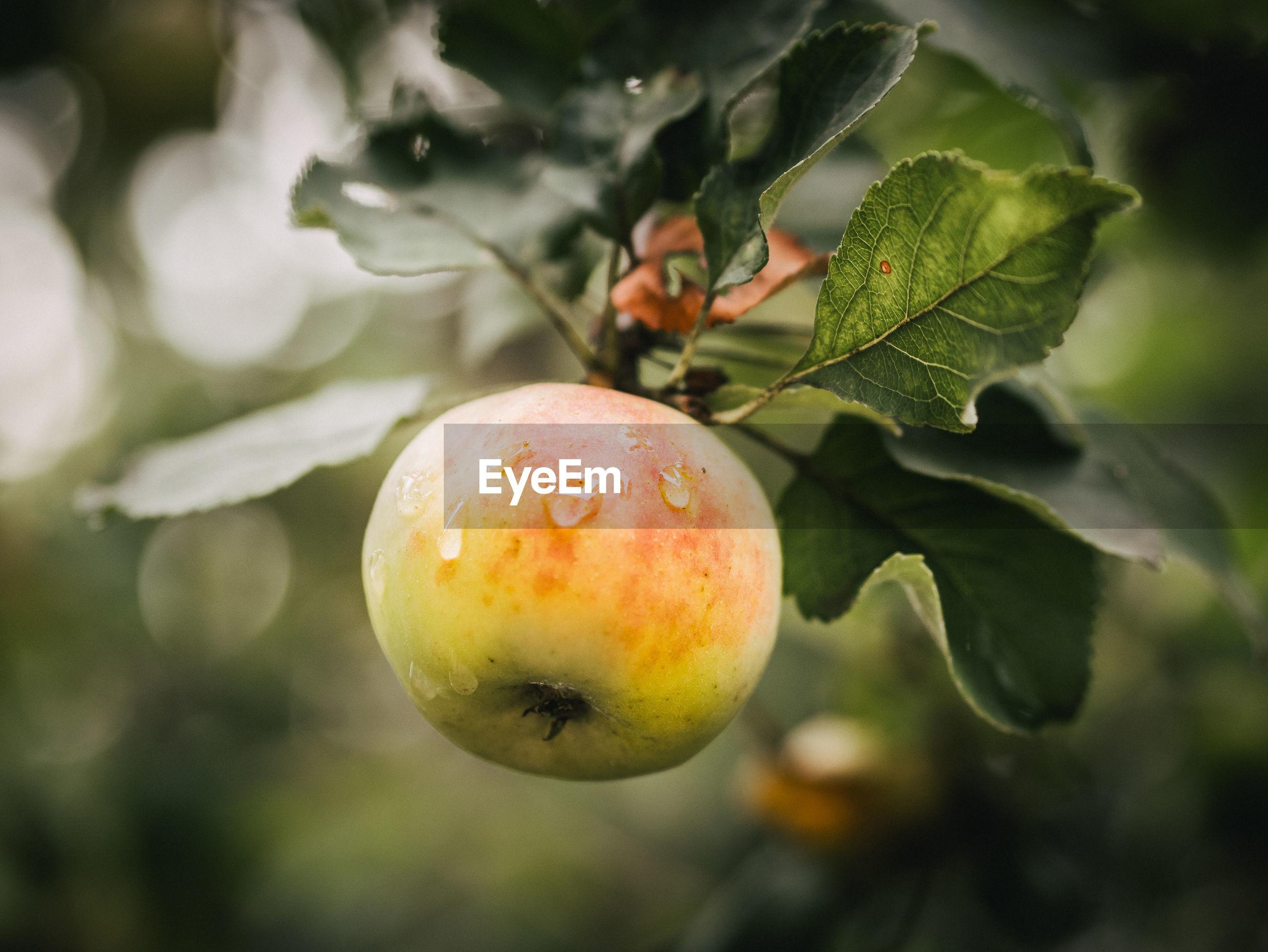 Close-up of apple on  tree