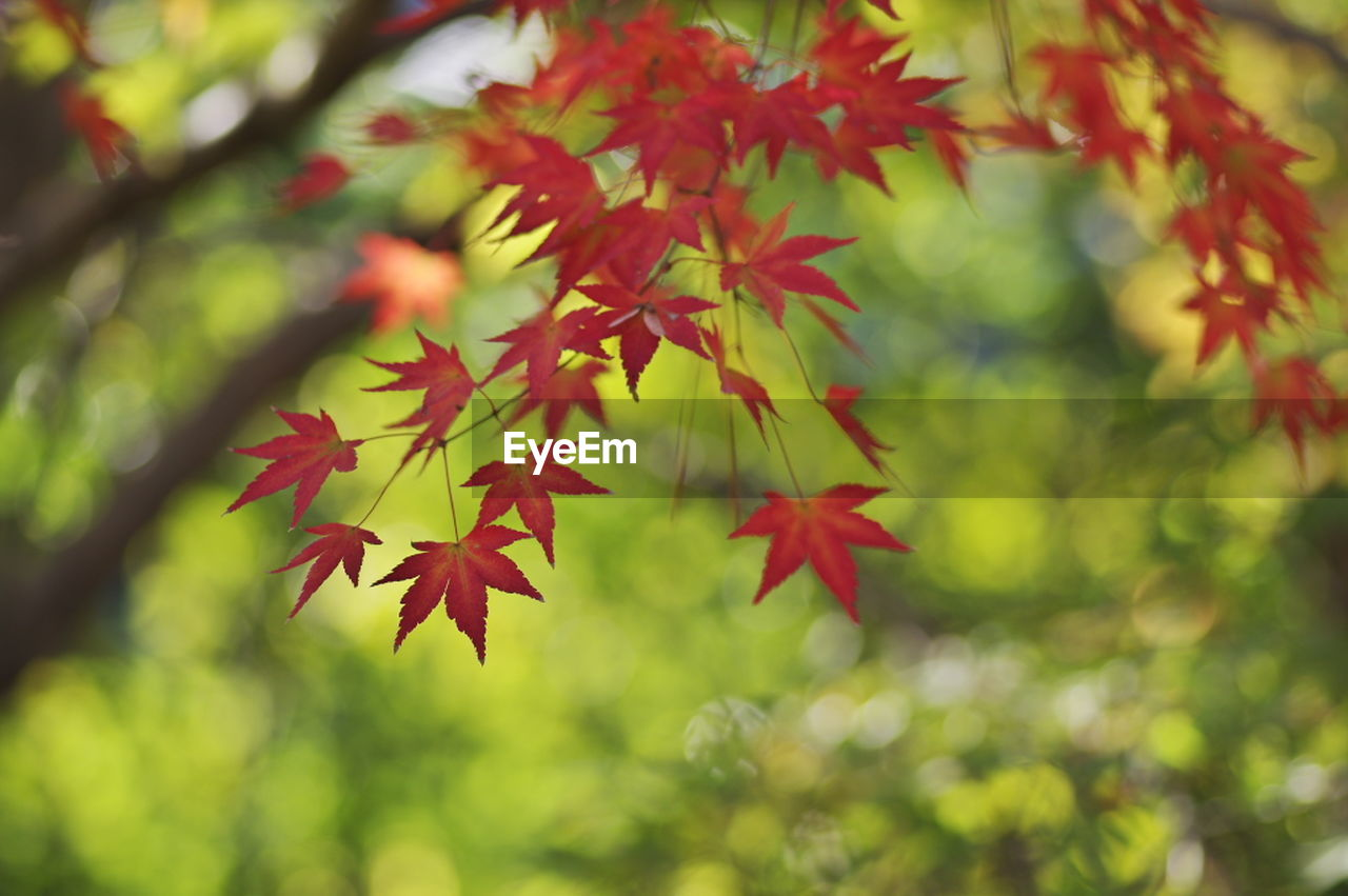 autumn, leaf, change, maple leaf, maple tree, maple, nature, leaves, red, beauty in nature, day, growth, tree, focus on foreground, no people, outdoors, scenics, close-up, branch