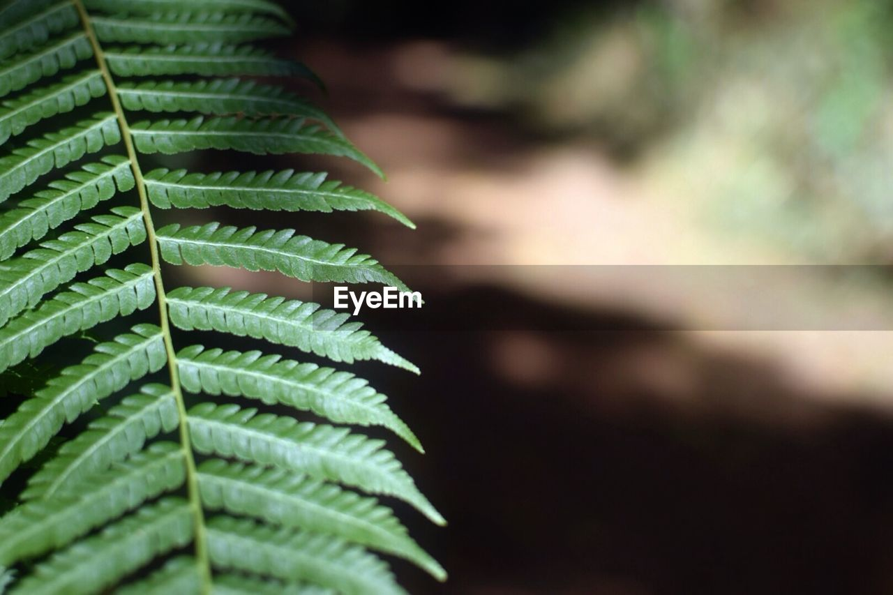Close-up of fern against blurred background