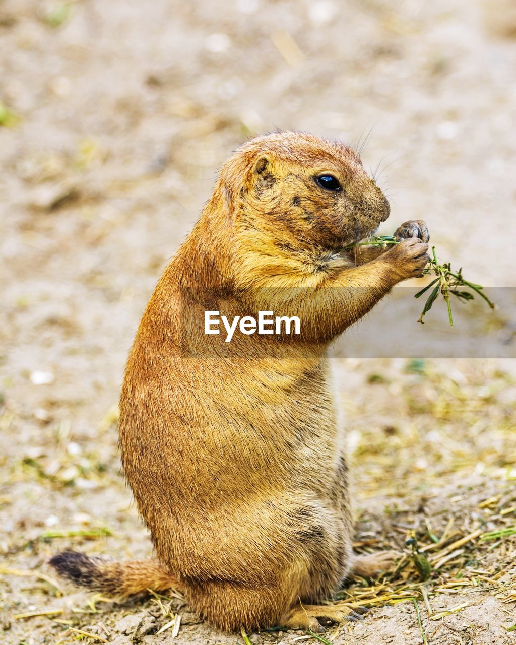 animal themes, animal, one animal, animal wildlife, mammal, animals in the wild, rodent, field, land, focus on foreground, no people, vertebrate, nature, day, eating, brown, close-up, squirrel, outdoors, looking