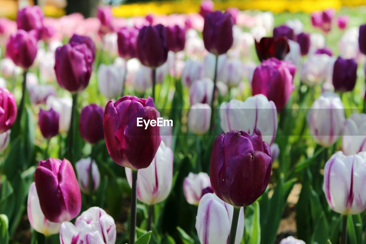 CLOSE-UP OF PURPLE TULIP FLOWERS
